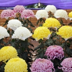 葬儀で飾る花はやっぱり菊!? | ベテランスタッフが教える葬儀マニュアル10